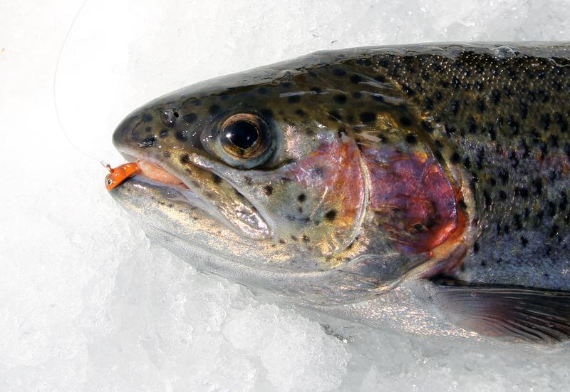 Regnbåge fångad på isfiske